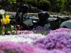 5.07 芝桜 002