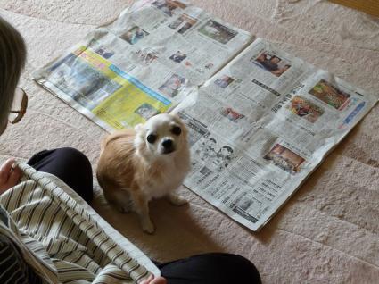 新聞読むのを邪魔するHARU10才