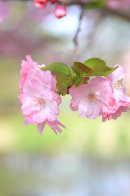 「花」桜・軽井沢