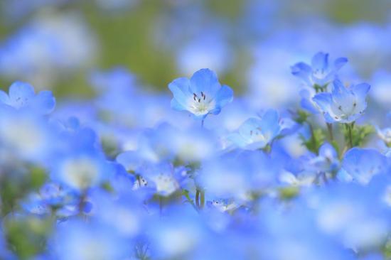 「花」ネモフィラ