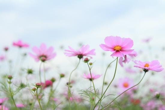 「花」コスモス・ピンク