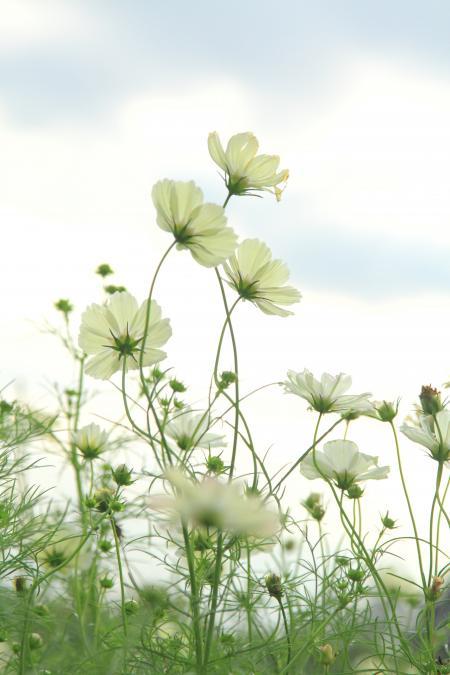 「花」黄花コスモス