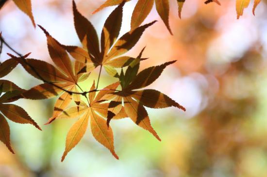 「花」鎌倉の紅葉