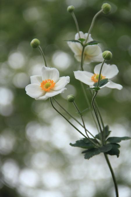 「花」秋明菊