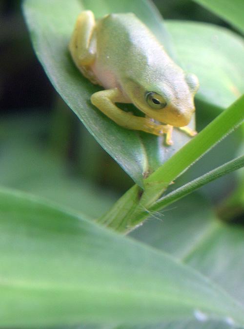 カエルマクロ1