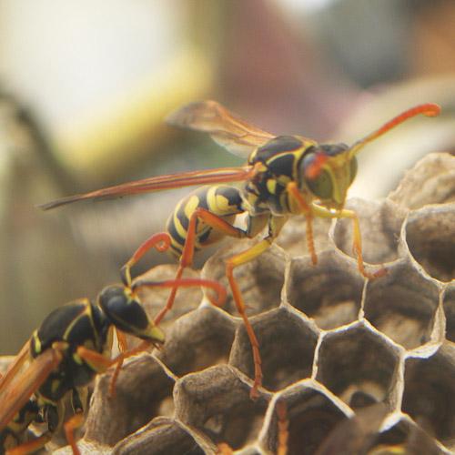 ハチの巣11