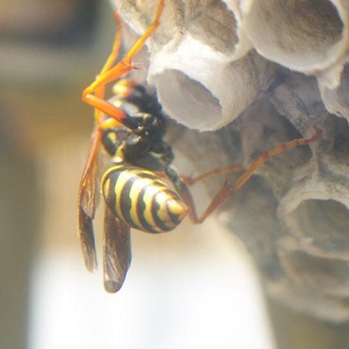 ハチの巣20