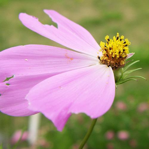 コスモス花弁2