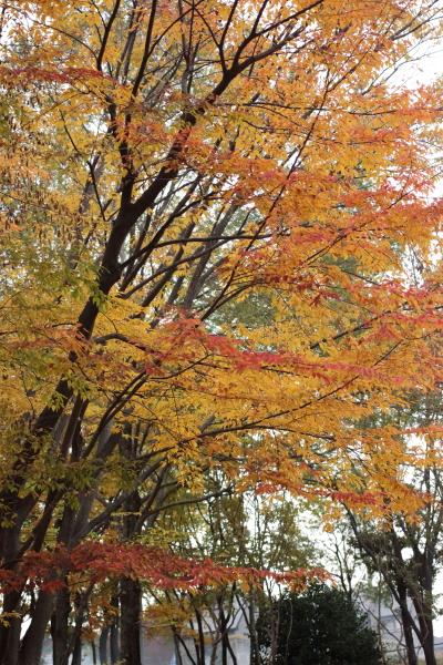IMG_4435公園紅葉モミジ