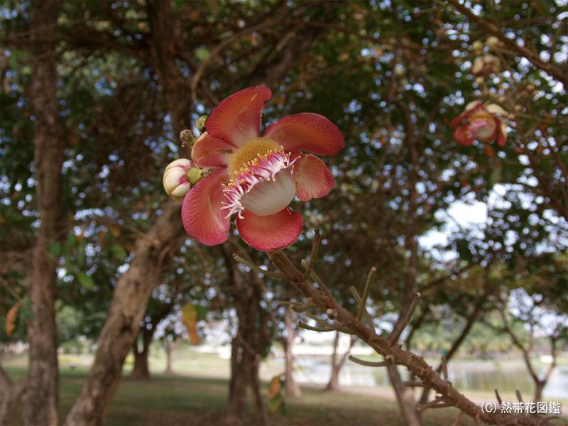 雨季明けの砲丸の木の花