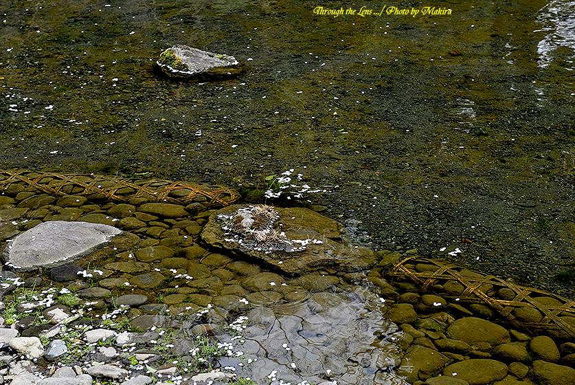 花筏28(小石川後楽園20130323)