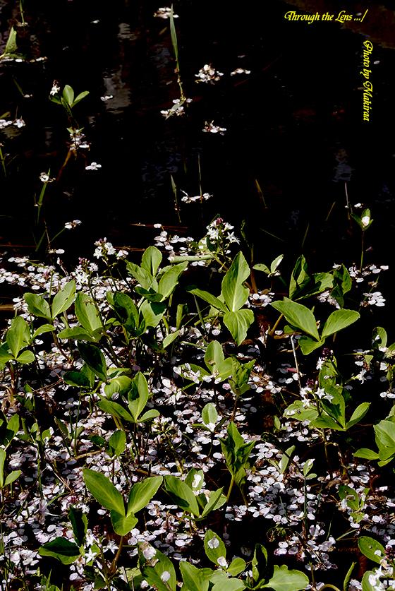 花筏32(自然教育園20130404)