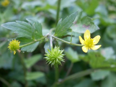 キツネノボタン実と葉