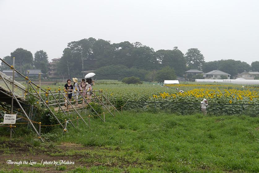 ヒマワリ畑1L
