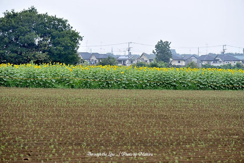 ヒマワリ畑2