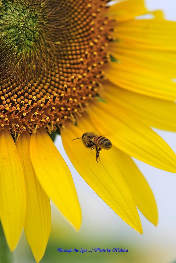 ヒマワリとミツバチ1