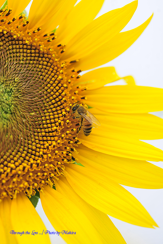 ヒマワリとミツバチ2
