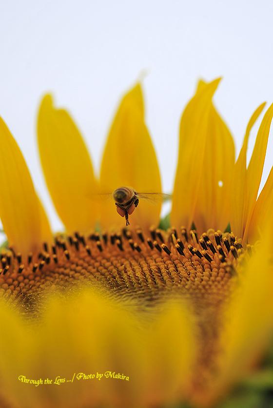 ヒマワリとミツバチ3