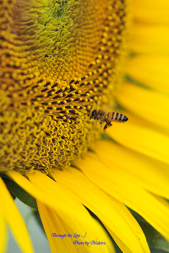 ヒマワリとミツバチ5