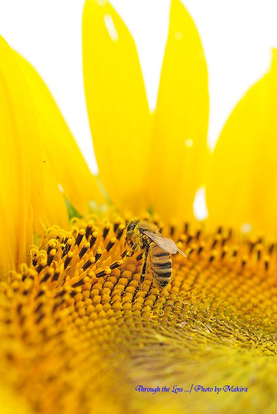ヒマワリとミツバチ6