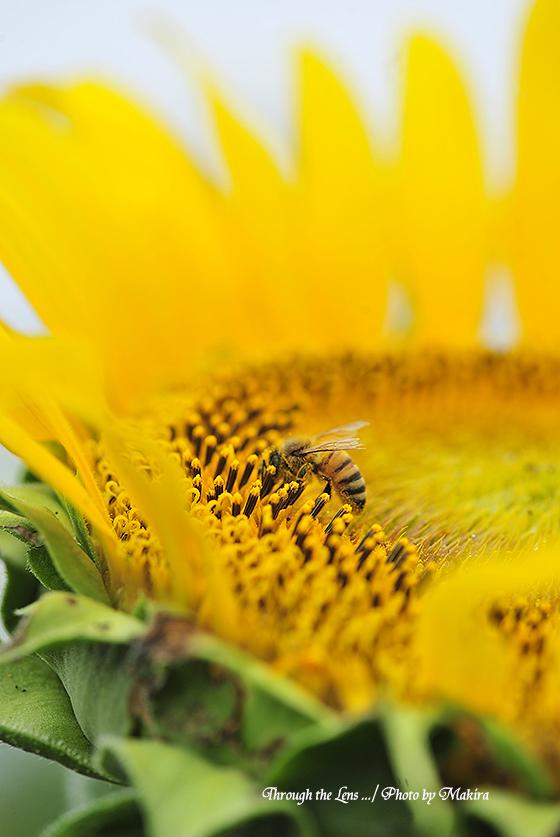 ヒマワリとミツバチ7