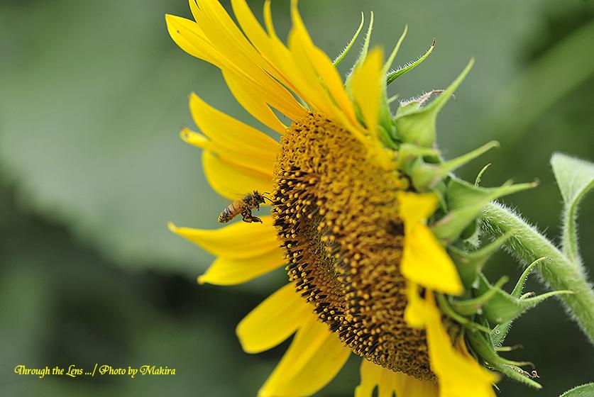 ヒマワリとミツバチ8