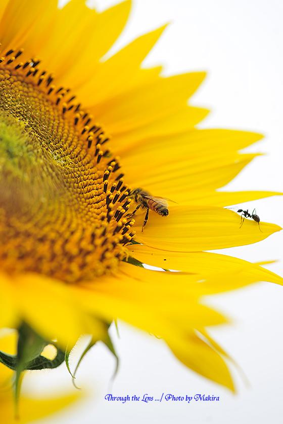 ヒマワリとミツバチとアリ1