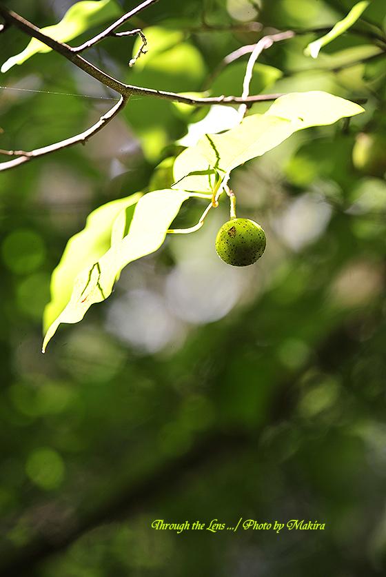 アブラチャンの種子3