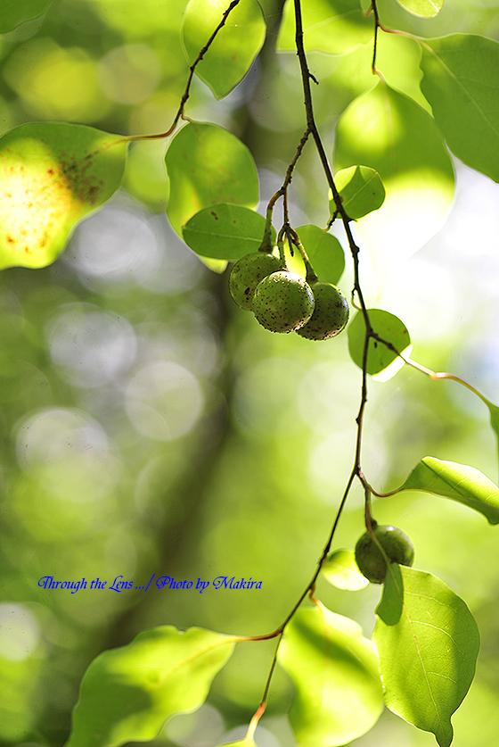 アブラチャンの種子2
