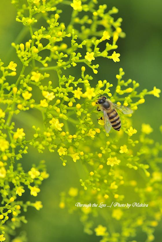 オミナエシと蜜蜂1