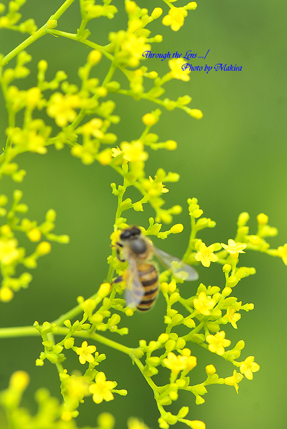 オミナエシと蜜蜂2