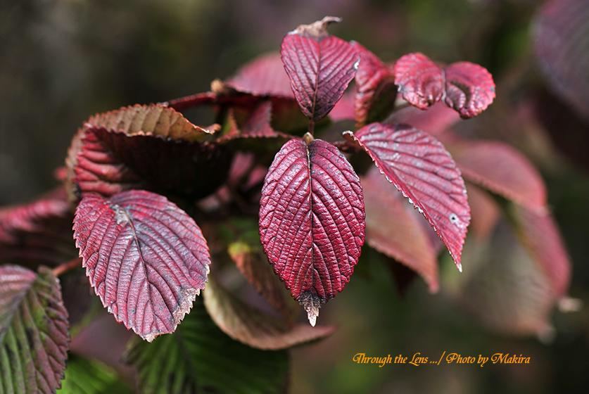 オオデマリの紅葉1