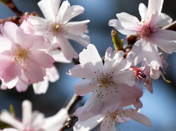 10月桜2