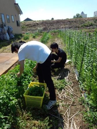 駒村さんの畑でバジルの収穫