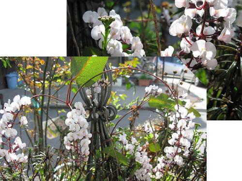 今日の庭_ハーデンベルギア