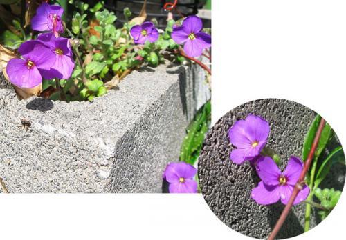 今日の庭_バコパ