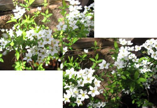 今日の庭_雪柳