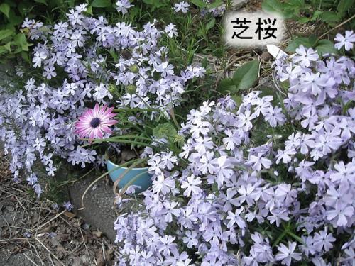 うちの庭2_うちは今紫の館です