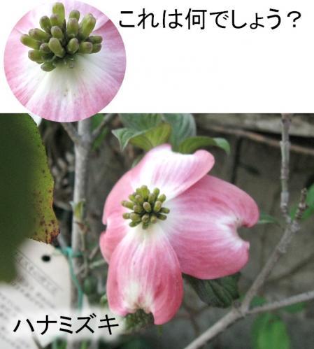 うちの庭5_ハナミズキ