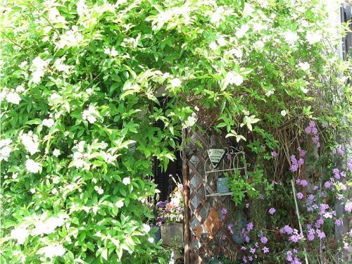 ガーデン1_白モッコウ
