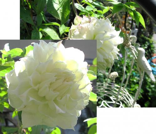 ガーデン6_クレマチス