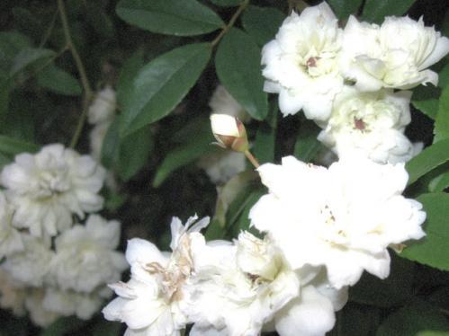 ガーデン2_白モッコウ