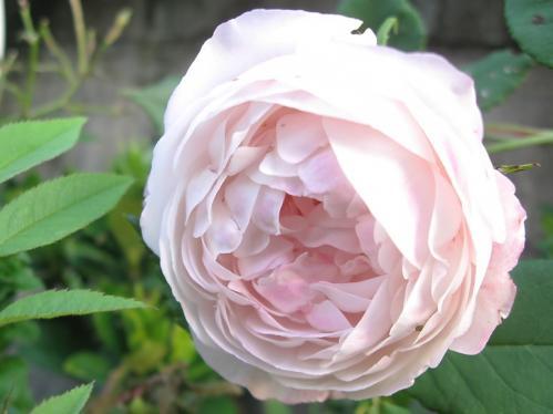 ガーデン3_薔薇