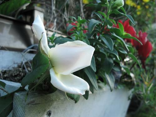 ガーデン4_薔薇