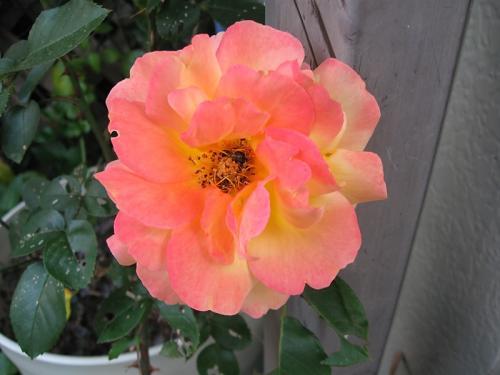 ガーデン5_薔薇