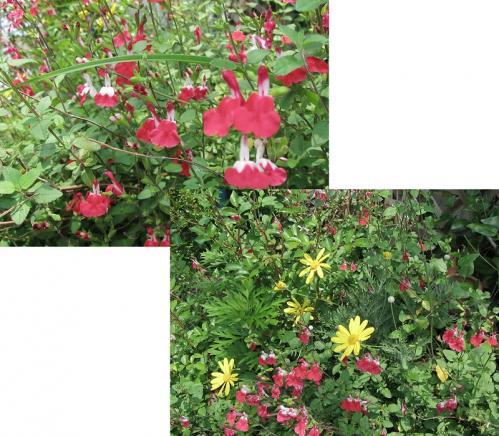 ガーデン3_セージとユリオプスデージー