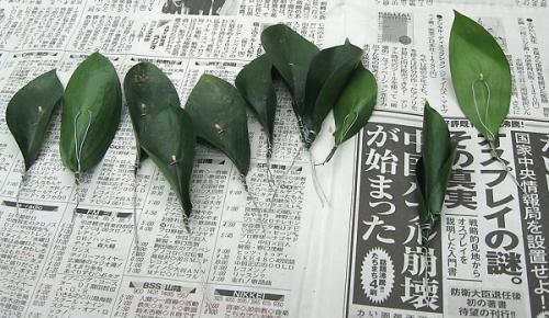 グリーンメリア1