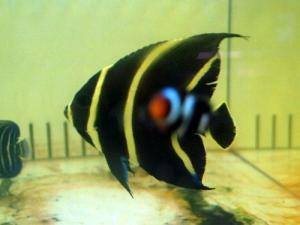 カリブ海水魚 018