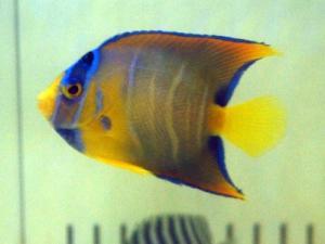 カリブ海水魚 017