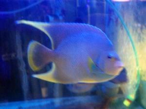 カリブ海水魚 025